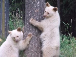 White bears Kristy Anonson 3