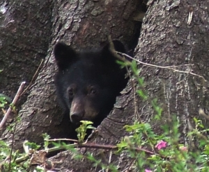 bear in tree smaller