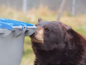 bear sniffing garbage can
